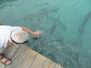 The tarpon are waiting for a handout.
