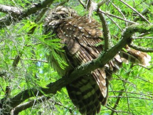 Sleeping Barred Owl