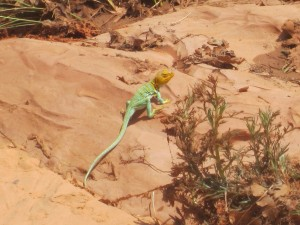 We saw this beautiful blue collared lizard along the way