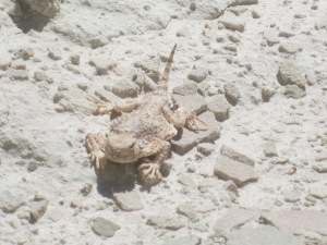 This Horn Toad Lizard was almost invisible against the rocks