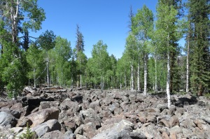 Aspen growing amongst the huge lava boulders