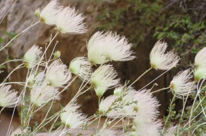 The same flower which resembled feathers
