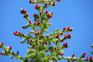 New growth on the fir trees were lit up like Christmas lights