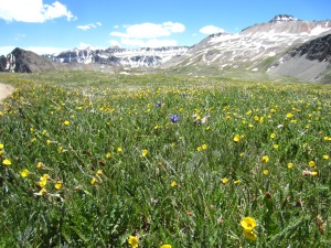 Wildflowers at Yankee Boy Basin