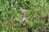 Large green iguana in the mangrove