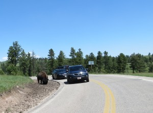 """There are signs everywhere """"Don't get too close to the buffalo, they can be dangerous""""  This person can't read!"""