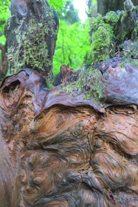 Can you see a face in this log in the old growth forest?